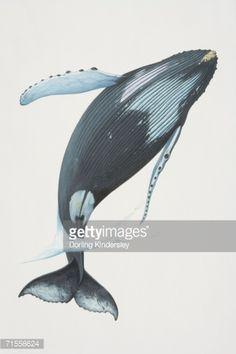 Stock Illustration : Megaptera novaeangliae, Humpback Whale breaching.