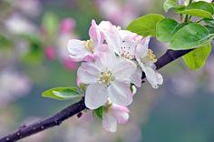 Photo las flores del manzano... by Mercedes Salvador on 500px