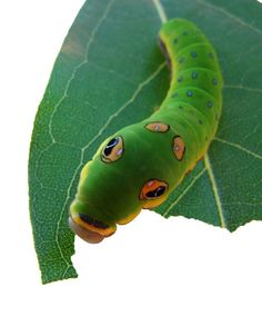 A list of specific plants that caterpillars eat! Butterflies lay eggs on these plants to feed their caterpillars. They are called Host Plants. Butterfly Species, Butterfly Plants, Butterfly House, Monarch Butterfly, Butterfly Project, What Do Caterpillars Eat, Shade Tolerant Plants, Monarch Caterpillar, Cat Info
