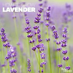 """Growing Fragrant Lavender in your garden to attract Butterflies and to naturally scent your home and closet.  A woman posted a comment on Facebook stating that English Lavender grows best in the Pacific Northwest,  and also shared that she buys her Lavender at Walmart,  Lowe's,  or Home Depot. Ask the clerk specifically for """"English Lavender"""" starts."""