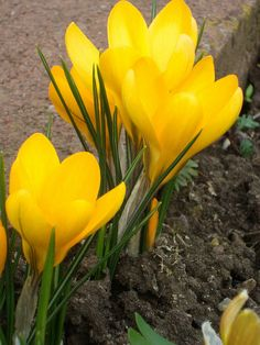 Crocus venus gold yellow dress