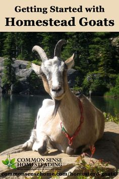 Homestead Goats - What breed should you choose? Five Popular Dairy Goat Breeds for the Homestead. Basic goat care - What Do You Need to Raise Goats?