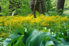Love that golden groundsel (Senecio aureus)!