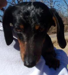 Bobby Sanctuary 2009 is an adoptable dachshund searching for a forever family near Prague, OK. Use Petfinder to find adoptable pets in your area. Mini Dachshund, Dachshund Puppies, Dachshund Adoption, Pet Adoption, Save A Dog, Foster To Adopt, Prague, Bobby, Pets
