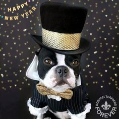 "282 Likes, 8 Comments - •Featuring Boston Terriers• (@bostonterriersforever) on Instagram: ""When you look this good, everyday should be New Year's Eve . Photo by @littlerocky Feature…"""