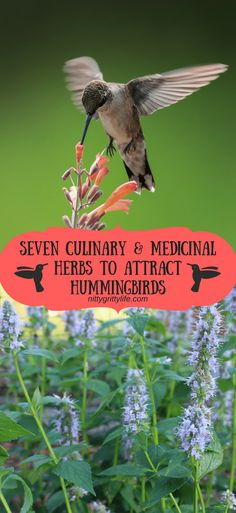 Hummingbirds are a salve for the soul.  Make your garden pull double duty by planting these culinary and medicinal herbs that also attract hummingbirds! #hummingbirds #pollinators #gardening #medicinalherbs via @nittygrittylife