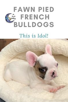 Hi, I'm Idol a fawn pied male French Bulldog! Look at how cute my little face is. Right now I spend my days napping the day away and eating as much as I can. My daddy is Chance, a AKC grand champion. Momma is a beautiful white pied female Tracey Jo. I cannot wait to join my furever family. French Bulldog Prices, Pied French Bulldog, French Bulldog Names, French Bulldog Puppies, French Bulldogs, Mans Best Friend, Best Friends, Human Babies, Love French