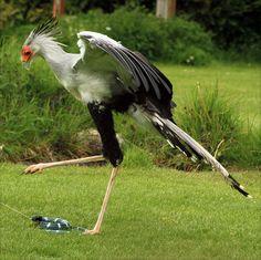 Secretarybird, predator, can be over 4 ft tall.  Africa