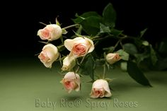 Baby Rio® CHABLIS Spray Rose