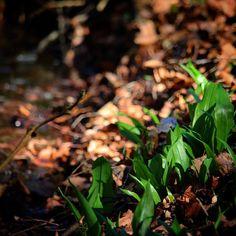Ramsløg ved Afgrunden Vissenbjerg #ramsløg #ramson  #visitfyn #visitdenmark #fyn #nature #nature_perfection #naturelovers #mothernature #natur #loves_skyandsunset #loveit #denmark #danmark #dänemark #landscape #assensnatur #mitassens #vildmedfyn #fynerfin #vielskernaturen #visitassens #instapic #picoftheday #spring #afgrunden #assens