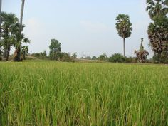 Rice field in Baray, Kampong Thom ◆Cambodia - Wikipedia http://en.wikipedia.org/wiki/Cambodia #Cambodia