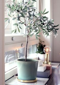 Indoor Gardening How to plant take care of an indoor olive tree - Given the current craze for houseplants, it's hard to imagine there's any un-trod territory there, and yet — I was totally surprised to realize that you can grow an olive tree inside Indoor Olive Tree, Window Sill, Decor, Plant Life, Inspiration, Home, Interior, Olive Tree, Interior Plants