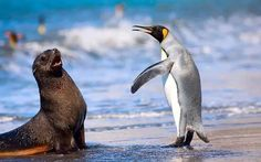 King Penguin and Antarctic Seal chatting!