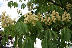 Aesculus flava 'Vestita'= gele pavia kastanje. bloei mei