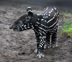 Tapir; Who am I? by Klaus Wiese on 500px