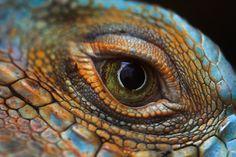 Iguana eye close-up shot Eye Pictures, Great Pictures, Pictures Of Reptiles, Eye Close Up, Creepy Guy, Eye Details, Dragon Eye, Reptiles And Amphibians, Mosaic Patterns