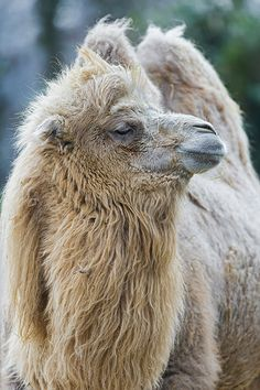 Bactrian camel looking at the side