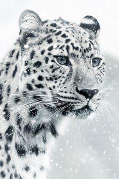Immagine gratis su Pixabay - Leopardo, Ghepardo, Mondo Animale