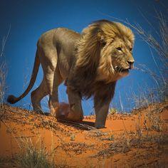 Majestic King! - by Wim van den Heever - via Amazing Wildlife