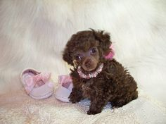 Brown Teacup Poodle  www.southernladysredpoodles.com