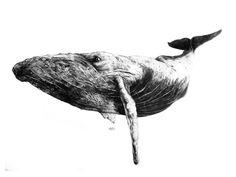 Humpback Whale sketch