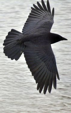 Favorite bird-Corvids are only perching birds who use feet to hold on while roosting and can use feet to carry things. Crow in flight by russell.tomlin on flickr.