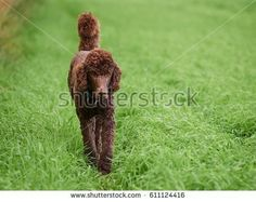 Stock Photo: Brown poodle walking on the grass at meadow in summer. -