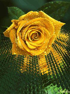 Güller Kadar Güzelsiniz, Harekettli Misler Gibi Gül Çiçek Gifleri, animated flower gif, animated flowers, ask gülleri, beyaz gül resimleri, beyaz güller, beyaz pembe gül resimleri, beyaz pembe güller,
