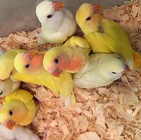 Peachface Lovebirds- Many available Males and Females in a variety of mutations! $129-149 Baby Lovebirds are here.  All are DNA sexed and Disease Tested (negative for PBFD, Polyoma and Chlamydia). Lutinos, Creaminos, Orangefaces, Opalines, Pieds and Combinations of all!  Beautiful baby lovebirds.  Most are ready to go to their new homes.  Stop in today to see these babies!