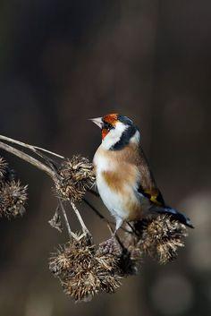 European Goldfinch ~ Photography by Villi Amo