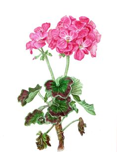 Geranium. Botanical Art, Botanical painting, Flower painting.