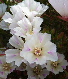 Clarkia imbricata 'White Form' by anniesannuals, via Flickr