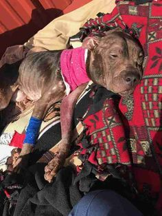Pit bull saved from fighting. It takes a total piece of shit to cause so much harm to a dog, and an evolved human to save one.