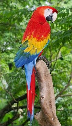 Scarlet Macaw (Ara macao) Central and South America