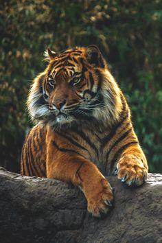 Tiger - by: Frank Hazebroek