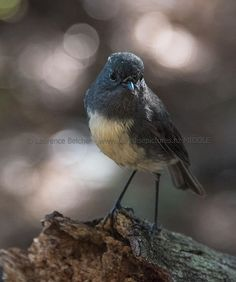 Another shot of the South Island Robin, Rees Valley, New Zealand Paradise Pictures, South Island, May 1, Nikon Photography, Middle Earth, Conservation, New Zealand, Robin, Birds