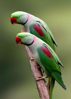 Ringneck parrots!