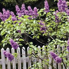 The best way to prune lilacs so that they bloom every year. | Photo: Anne B. Keiser/National Geographic/GettyImages | thisoldhouse.com