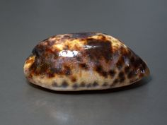 Seashell, Cypraea testudinaria, Philippines, 96mm