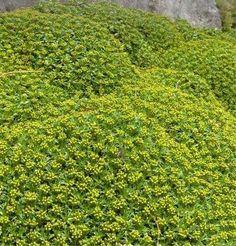 Azorella trójwidlasta - Azorella trifurcata » Byliny Toyota, Plants, Lawn And Garden, Plant, Planets