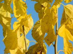 Morus alba (Witte moerbei)   Morus alba, de witte moerbei, wordt toegepast als dakboom, leiboom, struik of solitairboom. Van origine komt Morus alba uit China waar deze boom gebruikt werd als waardplant voor de kweek van zijderupsen.  Als gewone boom kan Morus alba 12 tot 16 meter hoog worden. De takken zijn takbreukgevoelig en om deze reden kan Morus alba het beste op een zonnige maar windbeschutte plaats aangeplant worden.