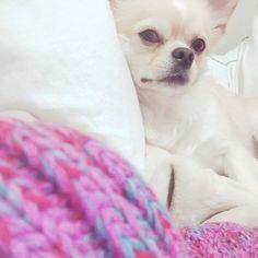 おはよう☀️雨☂️だねー😣 リラックスタイム邪魔して写真撮影ごめんなさいね😂🙏🏻 今日も一日みなさんが無事故でありますように🙏🏻 #リラックスタイム#goodmorning #おはよう  #愛犬#Cocoron #ココロン#instdog #instachiwawa#chiwawa#chihuahua#onlychihuahuas#Instagramdogs#instadog#animal#犬#Dog#dog#DOG#チワワ#チワワ画像#チワワ部#ロングコートチワワ #ロンチー#クリーム#わんこ #今日のわんこ
