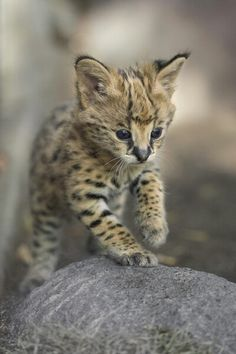 Kamari the Serval Kitten by San Diego Zoo Global. Baby Kittens, Kittens Cutest, Cats And Kittens, Cute Cats, Zoo Animals, Cute Baby Animals, Wild Animals, Beautiful Cats, Animals Beautiful