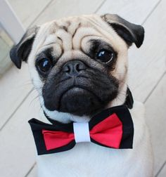 PUG Halloween costume. This listing is for ONE spooky Dog Bow Tie/Cat Bow Tie in the size o #pug Halloween costume. This listing is for ONE spooky Dog Bow Tie/Cat Bow Tie in the size of