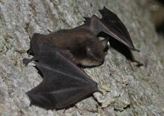 Bats are voracious eaters of insects, keeping forests and croplands healthy.   Photo: Little brown bat courtesy of J. N. Stuart/Creative Commons.