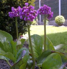 Bergenia cordifolia. With their large, leathery leaves it is easy to see why these are commonly known as elephant's ears! In March and April deep pink, almost metallic, flower spikes rise above the evergreen leaves. An invaluable plant for any garden; tolerates sun or shade and any soil type.