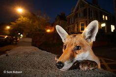 Young urban Red fox (Vulpes vulpes) poking its head up over a wall. Bristol, UK, August from Nature Picture Library Wild Life, Photo Animaliere, Urban Road, Concours Photo, Pet Fox, British Wildlife, Young Animal, Young Fox, Foto Art