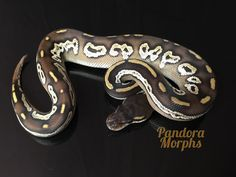 Black Head Goldblush Mojave Red Gene - Morph List - World of Ball Pythons