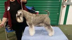Lizzie came 2nd in a strong Post Graduate bitch class and largest class of the day at The Miniature Schnauzer Club UK Championship Show. Bred by our good friend Sandra Graham Nikisan Schnauzers. Owned and loved very much by myself.