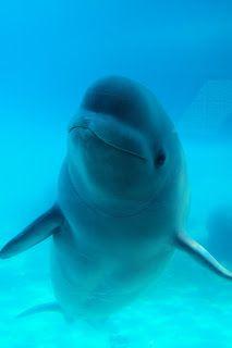 Beluga Whale from Marineland